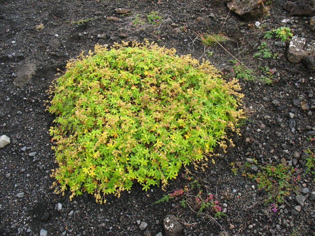 Island Pflanze