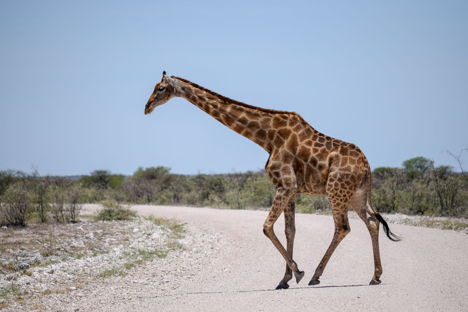 Namibia Strasse Giraffe