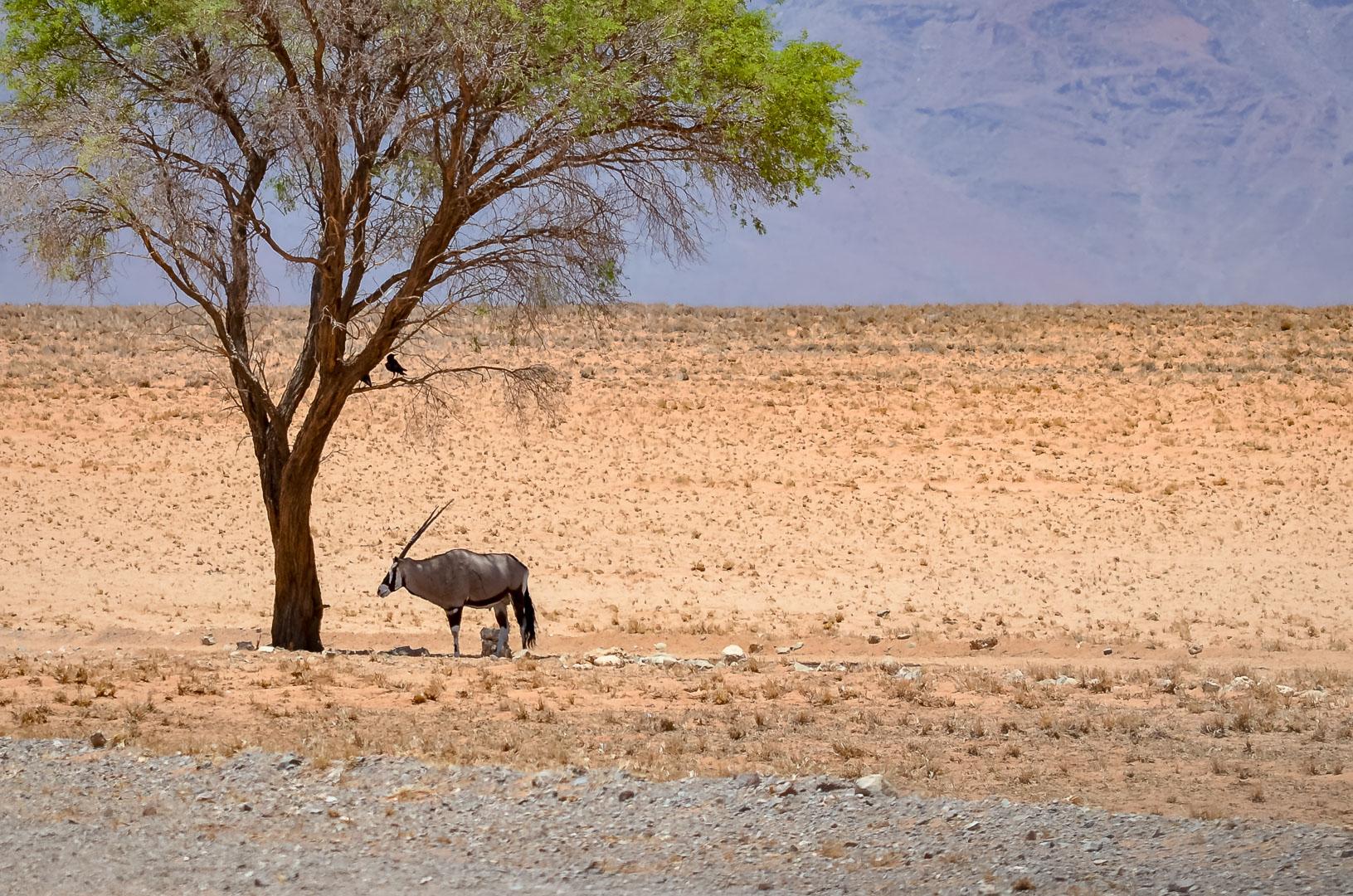 Oryxantilope in Namibia