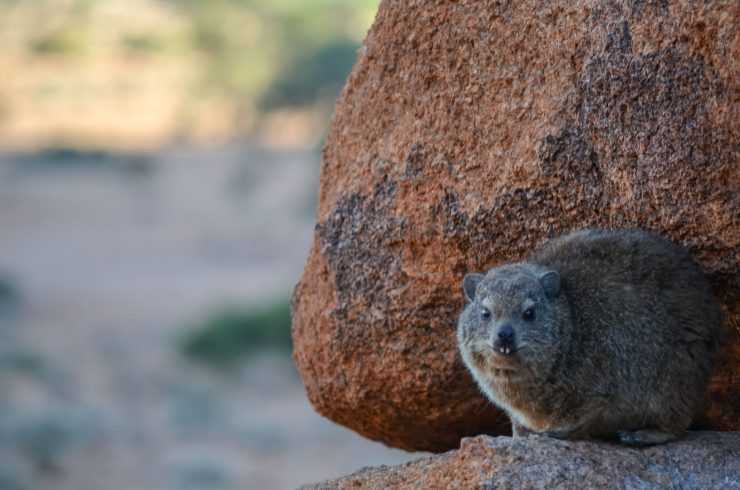 Klippschliefer Namibia
