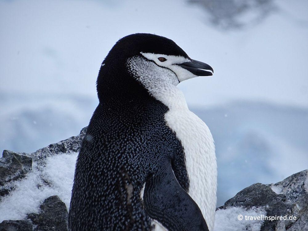 Zügelpinguin Antarktis Orne Harbour