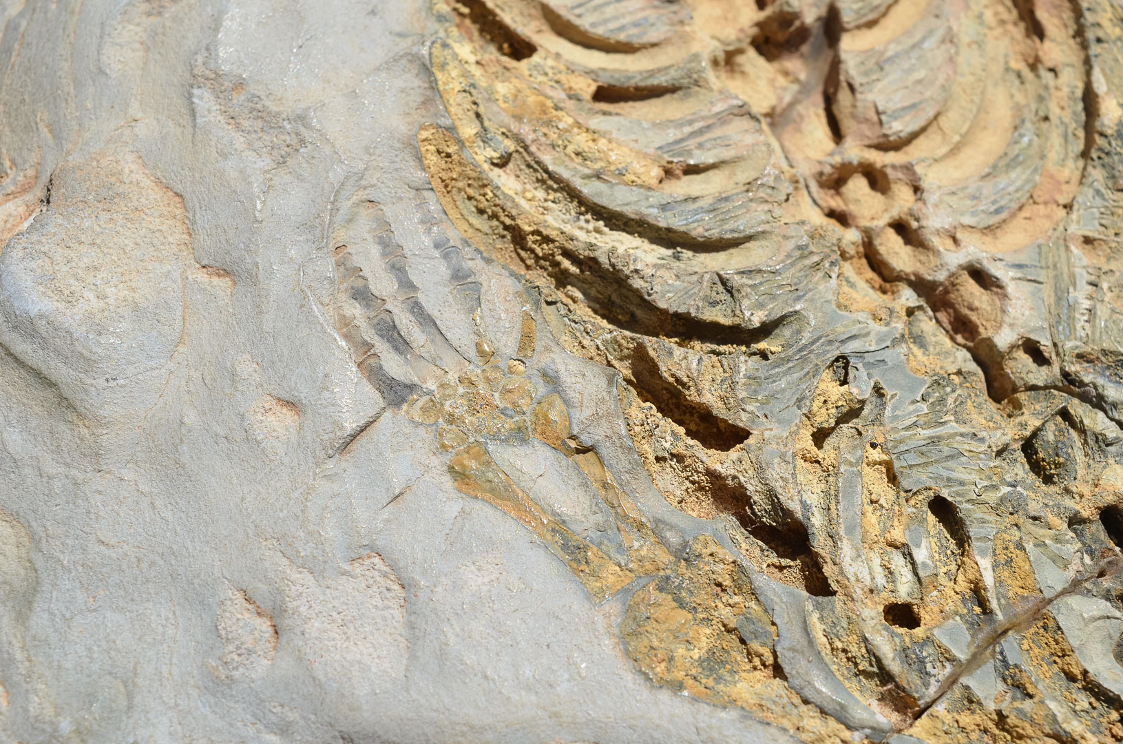 versteinerter Mesosaurus