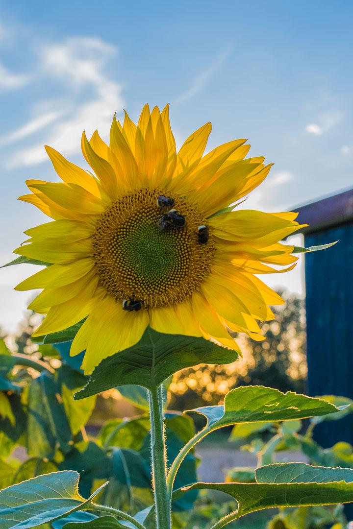 Sonnenblume-goldene-Stunde
